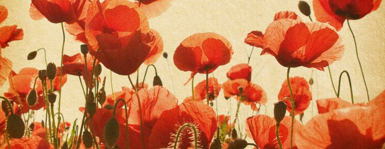 Derby Remembers watercolour poppies image