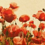 poppies_crop.jpeg